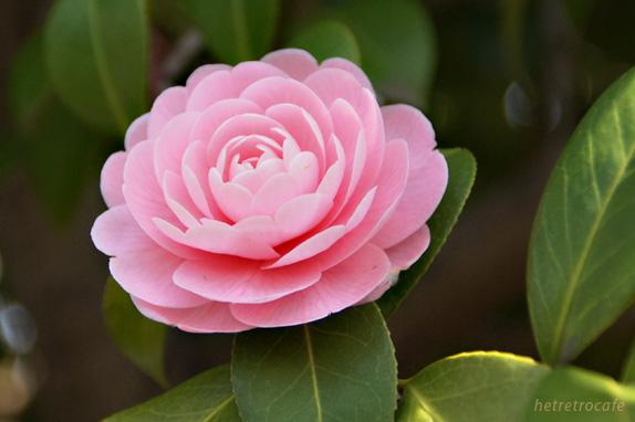 yanaka-pinkflower